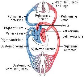 please review blood flow to and from the picture 3