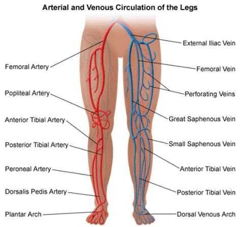 Blood circulation legs picture 2