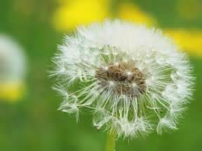 dandelion flower pictures picture 2
