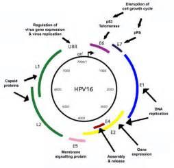 human papillomavirus e6 picture 5