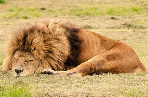 a lion was asleep picture 6