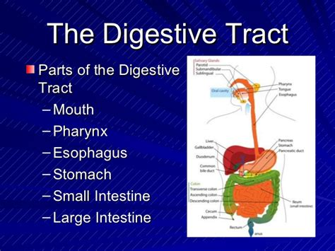 digestion and absorption picture 9