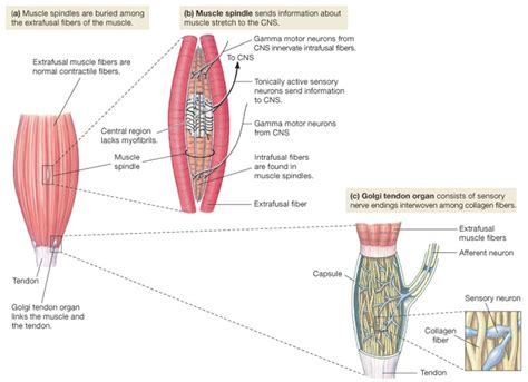 alpha receptors and skeletal muscle picture 2