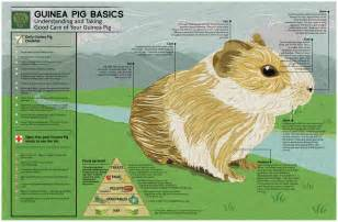 cavy diet picture 6