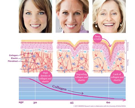 the effects of ageing on collagen and flexibility picture 2
