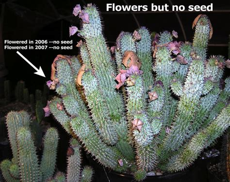 looking for information on hoodia picture 1