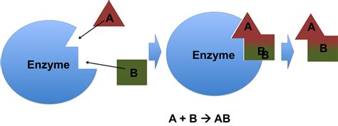 enzymes picture 15