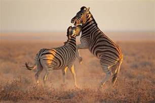how are zebras h different to human h picture 7