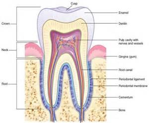 anatomy of the teeth picture 1