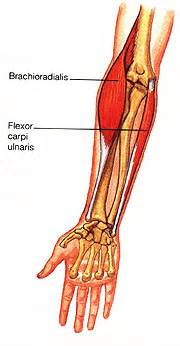 flexor carpi radialis muscle picture 3