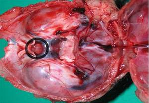 dog thyroid glands picture 9