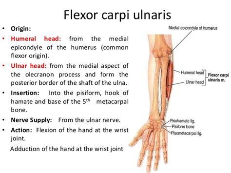 flexor carpi radialis muscle picture 2