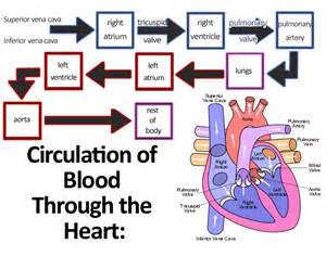 blood circulation picture 2