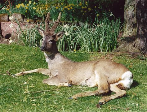 largest natural deer picture 6