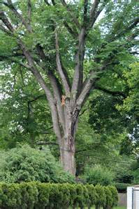 slippery elm picture 14