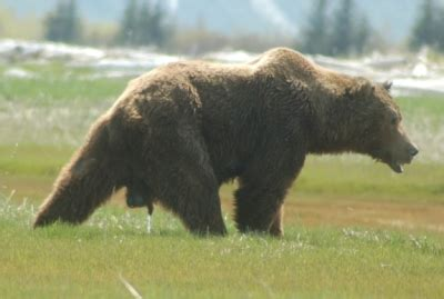 how big is a bears penis picture 1