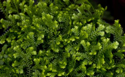 club moss picture 3
