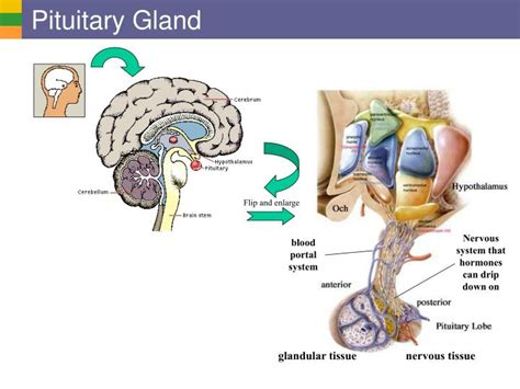 pituitary gland testosterone treatment picture 13