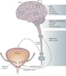 natural bladder stimulants picture 1