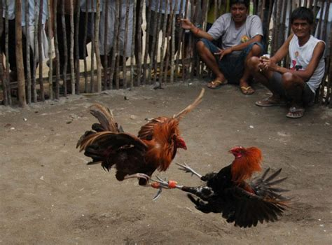 gamecock philippines picture 1