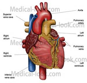 blood flow theough heart to h picture 14