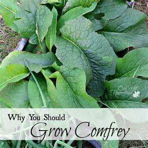 comfrey herbal plants for sale phils. picture 7