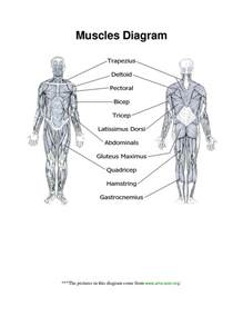 diagram of body muscle picture 13