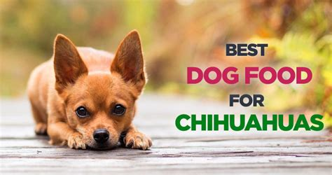 chihuahua diet picture 2