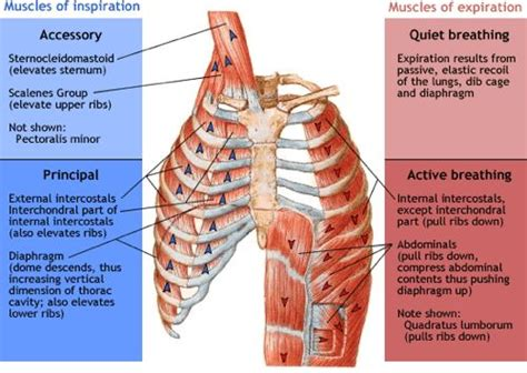 Muscle pain in rib cage picture 9