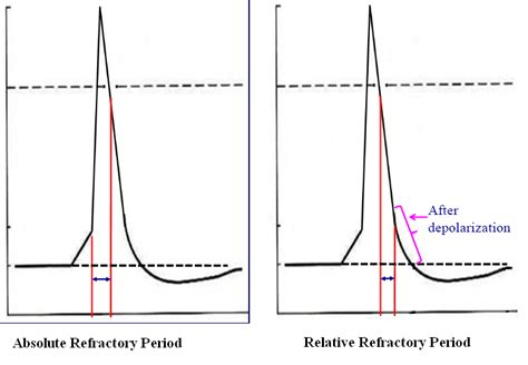 do muscle fibers have a refractory period picture 4