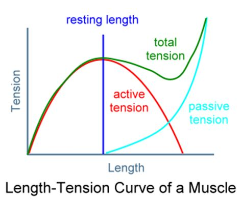 definition of passive muscle tension picture 3