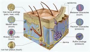 mechanoreceptors in skin picture 7