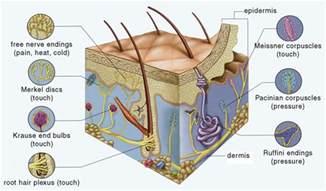 mechanoreceptors in skin picture 9