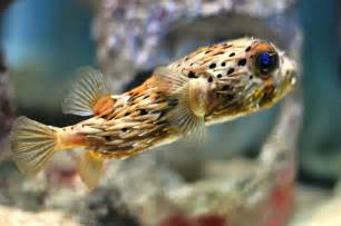 puffer h picture 2