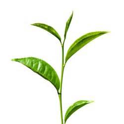 argan plant picture 2
