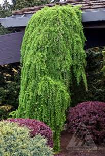 similarities between willow and ginkgo trees picture 6
