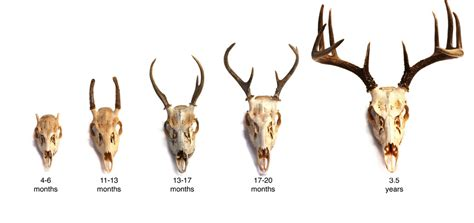 caribou skin picture 11