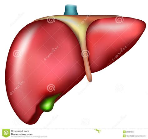 are en livers healthy picture 14