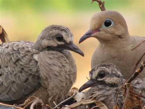 mourning dove diet picture 3