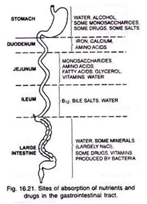 absokrbtion in the gastrointestinal tract picture 10