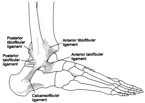 ankle joint diagram picture 6