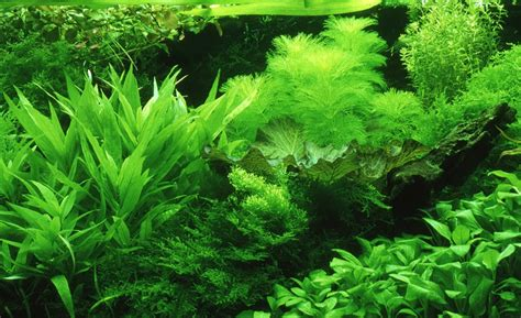 incoming search terms for the article water plants picture 10