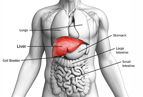 women + anatomy + liver picture 13