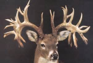 how to whiten deer antlers picture 7