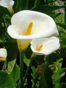 yarrow flower picture 13
