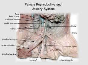 urethra picture 15