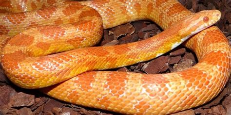 corn snake h picture 9