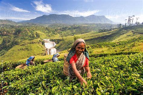 madagascar women and tea plantation picture 6