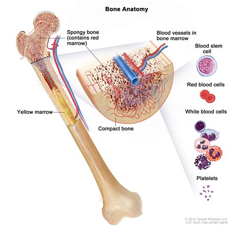 what is bone & bone marrow homeopathic used picture 3