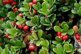 bearberry cellulite picture 1